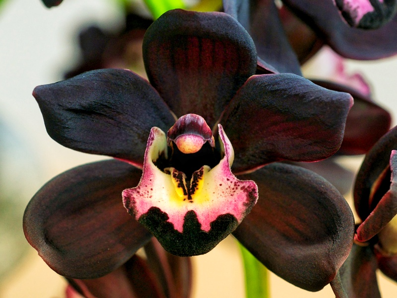 Black-Orchid-Flower-Pictures-1920x1440-01.jpeg